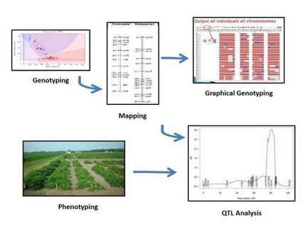 Mapping & QTL Analysis - eXtension Learning Lessons | grapevine and tree peony | Scoop.it