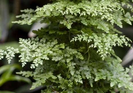 Ferns communicate to decide their sexes | my universe | Scoop.it