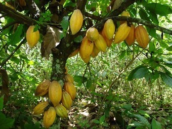 Save an Endangered Cacao Tree with Cool Earth this Easter | Vertical Farm - Food Factory | Scoop.it