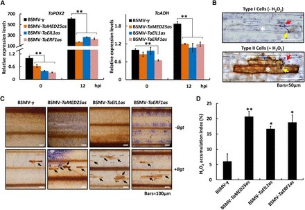The Wheat Mediator Subunit TaMED25 Interacts with the Transcription Factor TaEIL1 to Negatively Regulate Disease Resistance against Powdery Mildew | Plant-Microbe Interaction | Scoop.it