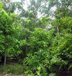 Agroforêts à cacaoyers : la répartition de la végétation permet de réguler les attaques des bioagresseurs | Ecosystèmes Tropicaux | Scoop.it