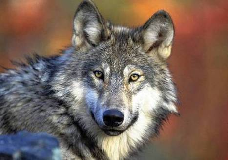 Researchers find gray wolf-grizzly bear link in Yellowstone | Hodge Podge Collection of Readings | Scoop.it