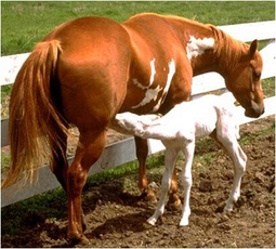 Overo lethal white syndrome (OLWS) : Horse : University of Minnesota Extension | Horse Kinetics | Scoop.it