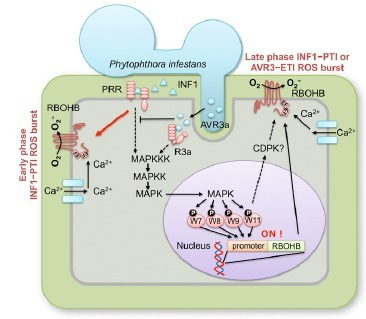 WRKY Transcription Factors Phosphorylated by MAPK Regulate a Plant Immune NADPH Oxidase in Nicotiana benthamiana | Host Cell & Pathogen Interactions | Scoop.it