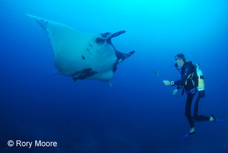 De l'importance des balises satellites pour comprendre les raies Manta océaniques; | Rays' world - Le monde des raies | Scoop.it