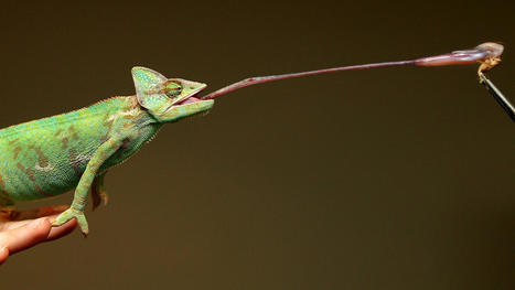 Super-sticky saliva helps chameleons catch huge prey, scientists say | Science, Technology, and Current Futurism | Scoop.it