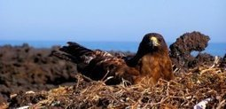 Galapagos hawks hand down lice like family heirlooms | Science Codex | CALS in the News | Scoop.it