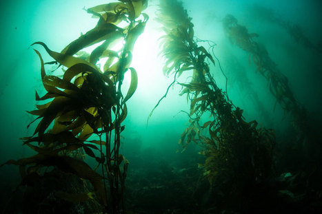 Lessons Learned: A Close Call In Kelp | All about water, the oceans, environmental issues | Scoop.it