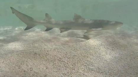 Un requin mis à nu par un drone en Guadeloupe - outre-mer 1ère   Drone et prises de vues aériennes   Scoop.it