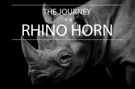 Infographic: The journey of a rhino horn | What's Happening to Africa's Rhino? | Scoop.it