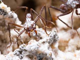 Bacteria that assist fungus-farming ants may be a source of new drugs | Sustain Our Earth | Scoop.it