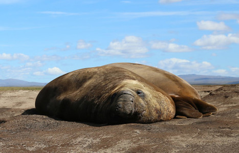 What's Living Under These Elephant Seals? | GarryRogers Biosphere News | Scoop.it