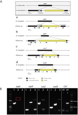 Rapid Mitochondrial Genome Evolution through Invasion of Mobile Elements in Two Closely Related Species of Arbuscular Mycorrhizal Fungi | Plant Genomics | Scoop.it