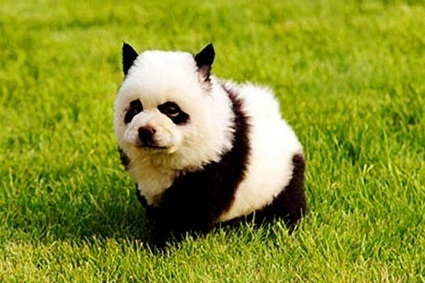 'Panda Dogs' are the Latest Animal Must-Have | TheBlogIsMine | Scoop.it