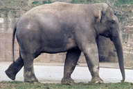 Learning English - Words in the News - Illegal trade in elephants threatens their survival | ENGLISH AND ICT | Scoop.it