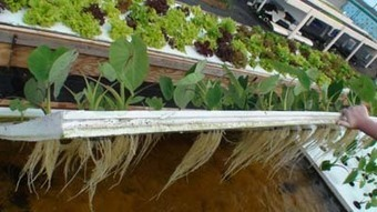Aquaponic – grow your own organic food and fight GMOs - UBC Blogs | Plant Based Transitions | Scoop.it