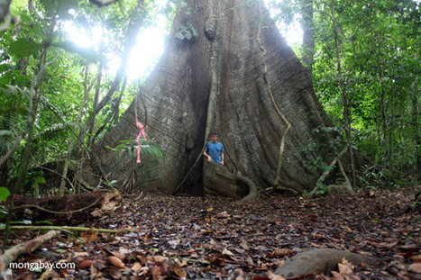 Big trees, like the old-growth forests they inhabit, are declining globally   Biodiversity IS Life  – #Conservation #Ecosystems #Wildlife #Rivers #Forests #Environment   Scoop.it
