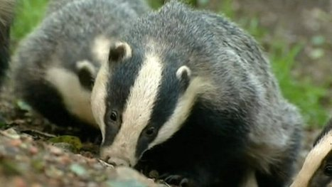 Badgers 'hit with spades' in attacks | Bovine TB, badgers and cattle | Scoop.it