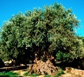 GREEK NEWS AGENDA: Harvesting the World's Oldest Tree | IncredibleCrete | Scoop.it