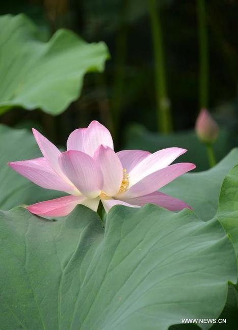 Lotus flowers bloom at Daming Lake in China's Jinan - Xinhua | English.news.cn | What Fascinates Me About China | Scoop.it