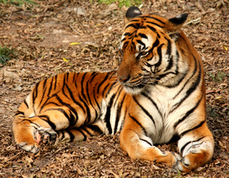How China's Pet Dogs Might Save Wild Tigers | Observations, Scientific American Blog Network | Sustain Our Earth | Scoop.it