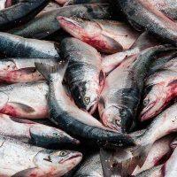 Will Alaska Native fishermen prevail in religious freedom defense? - Alaska Dispatch | Law and Religion | Scoop.it