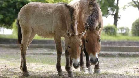 Prague zoo to send more Przewalski's horses to Mongolia | Mongolia Times | Scoop.it