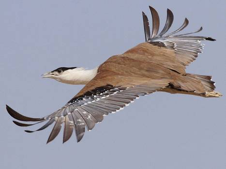 Rajasthan launches scheme to save the endangered Great Indian Bustard - The Independent   rajasthan   Scoop.it