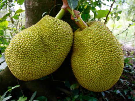 Here's The Scoop On Jackfruit, A Ginormous Fruit To Feed The World | Erba Volant - Applied Plant Science | Scoop.it