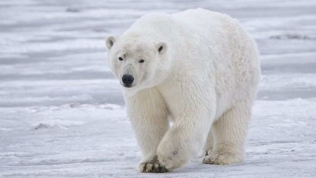 Polar bear fur could hold secret to ultrathin insulation | Biomimétisme Biomimicry | Scoop.it