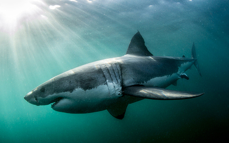Why are #Sharks so #misunderstood? ~ #SaveOurSharks | Rescue our Ocean's & it's species from Man's Pollution! | Scoop.it