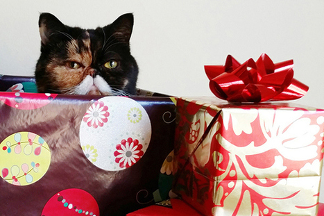 The 12 Cats Of Chrismahanukwanzakah: Pudge | Animals Make Life Better | Scoop.it