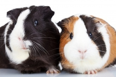 Burgess Pet Care » Blog Archive » Guinea Pigs 101: How to Care for Your New Pet | Guinea Pigs | Scoop.it