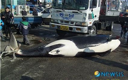 Dead Orcas InKorea? | Dolphins | Scoop.it