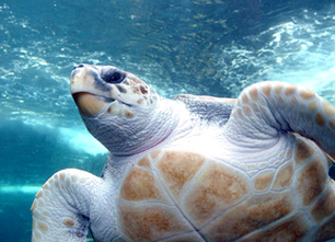 Mexico Risks U.S. Trade Embargo After Deaths of 700+ Endangered Sea Turtles | Things I care about... | Scoop.it