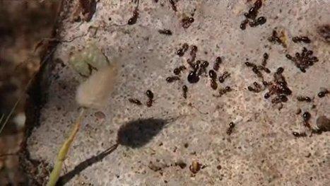 Littoral du Valinco (Corse) : les spécialistes recensent les fourmis | Variétés entomologiques | Scoop.it