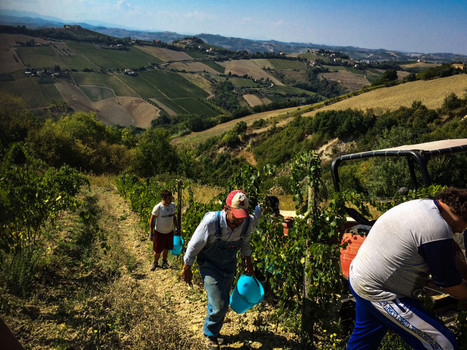 Pecorino Grape Harvest, 2015! | Wines and People | Scoop.it