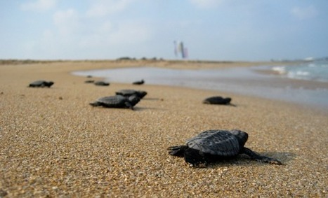 Baby sea turtles are on the road to recovery • The Monitor Daily | Advocating for Wildlife | Scoop.it