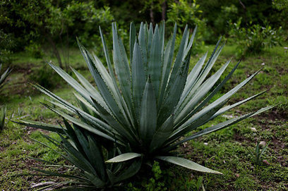 Mexican Distillers Fight Over the Word 'Agave' | Agave and Mezcal | Scoop.it