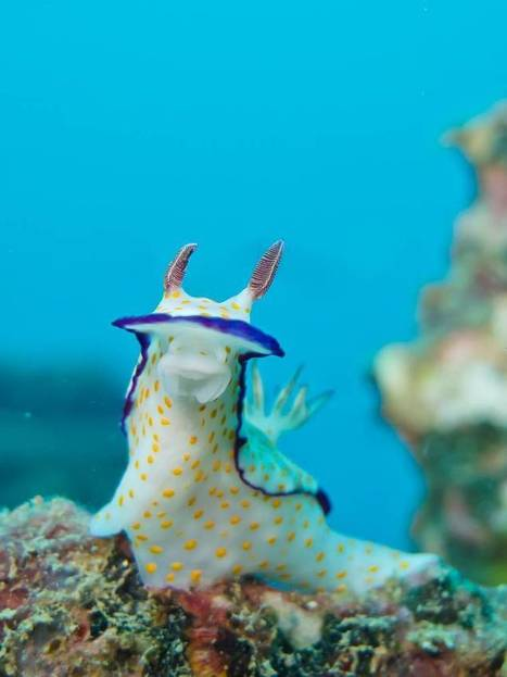 Explore the neon world of nudibranchs | Vloasis sci-tech | Scoop.it