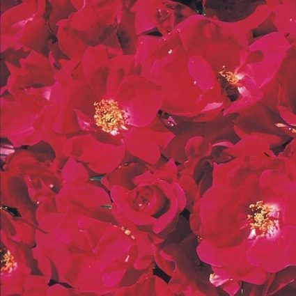 Knock Out® Rose | My Garden- Spring Hill Nursery | Scoop.it