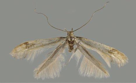 Nouveau genre nouvelle espèce pour ce papillon découvert dans le Mercantour / A new genus and species of leaf-mining moth from the French Alps | Scoop des Histoires Naturelles | Scoop.it