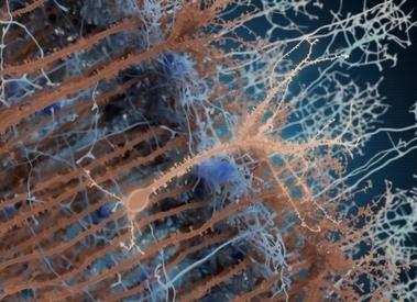 ENCORE UNE PREUVE De LA PLASTICITÉ CÉRÉBRALE: Elle est dans la dynamique synaptique ! | La pleine Conscience | Scoop.it