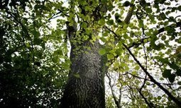 Scientists use people power to find disease-resistant ash trees | GMOs & FOOD, WATER & SOIL MATTERS | Scoop.it