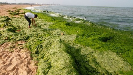 #Chinese Beach Turns Green—This Time It's Not Pollution #Seaweed ~ Update below...   Rescue our Ocean's & it's species from Man's Pollution!   Scoop.it