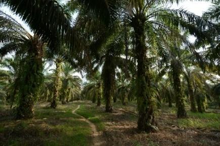 Le fonds souverain norvégien porte un nouveau coup à l'huile de palme | Chronique d'un pays où il ne se passe rien... ou presque ! | Scoop.it