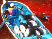 CBS, NBC, and CNN: Cover the story of the Dolphin massacre in Taiji, Japan | Life on Earth | Scoop.it