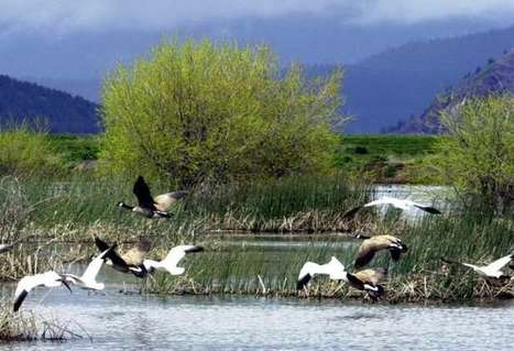 Thousands of snow geese fall dead from sky in Idaho   Advocating for Wildlife   Scoop.it