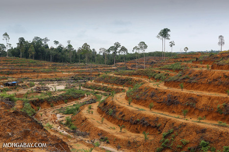 Palm Oil Giants Announce Deforestation Moratorium -- Effective Immediately | GarryRogers Biosphere News | Scoop.it