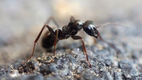 Unas hormigas que crean 'supercolonias' pueden estar preparando una invasión mundial - RT | Simbiosis entre Filosofía y Ciencia | Scoop.it